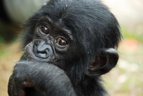 세계자연보전연맹(IUCN) 멸종 위기종인 보노보 - 위키미디어 제공